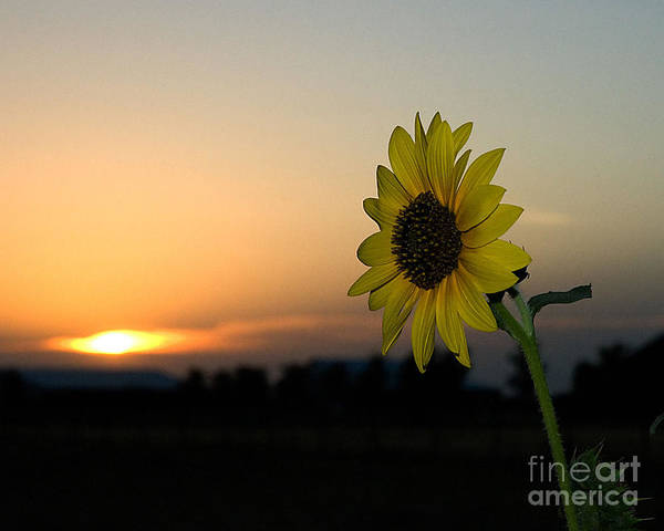 Poster featuring the photograph Sunflower And Sunset by Mae Wertz