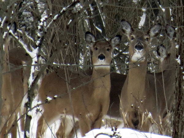 Deer Posing For Picture Poster