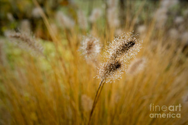 Dew On Ornamental Grass No. 4 Poster