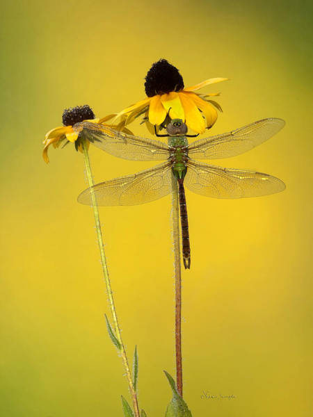 Poster featuring the photograph Dewy Darner by Vickie Szumigala