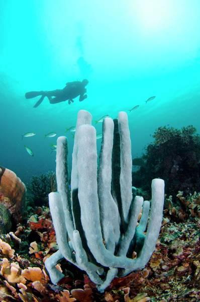 Diver Swimming Over A Tube Sponge Poster
