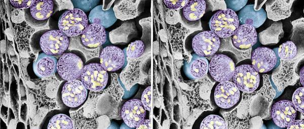 Dividing Pollen Cells Poster