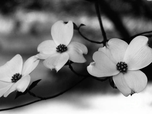 Dogwood Black And White Poster