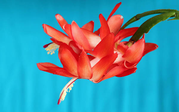 Double Bloom In Red Poster