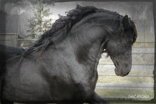 Dream Friesian Poster