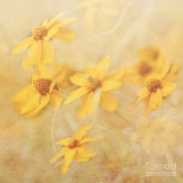 Dreamy Yellow Coreopsis Poster