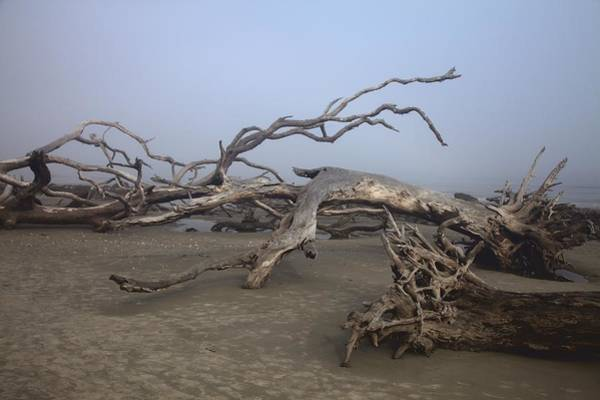 Driftwood Trees On Jekyll Island Poster