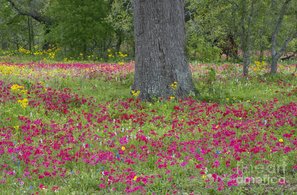 Drummonds Phlox And Crown Tickweed Central Texas Poster
