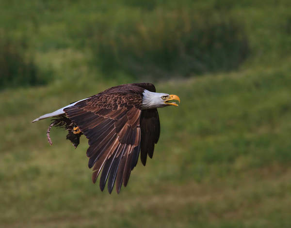 Eagle With Prey Poster
