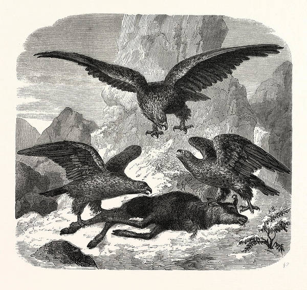 Eagles Fighting Over A Chamois. Mountains Poster