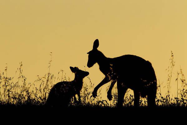 Eastern Grey Kangaroo And Joey Mount Poster