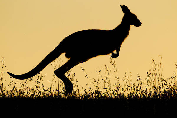 Eastern Grey Kangaroo Hopping At Sunset Poster