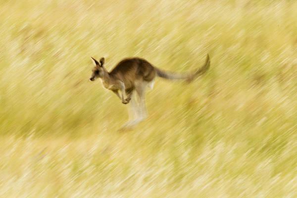 Eastern Grey Kangaroo Hopping Poster