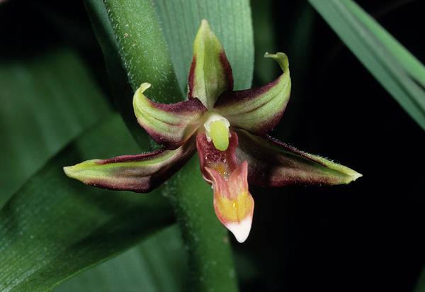 Eastern Marsh Helleborine Orchid Flower Poster