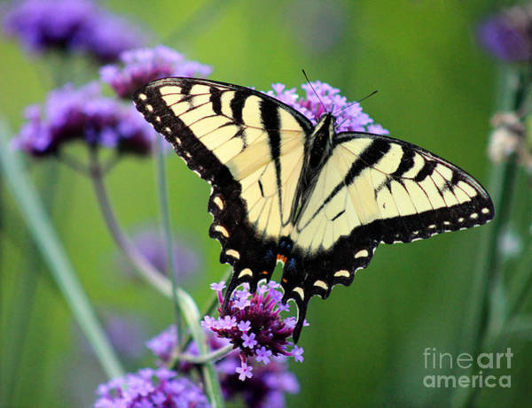 Eastern Tiger Swallowtail Butterfly 2014 Poster