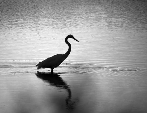Egret In Bw Poster