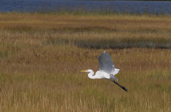 Egret In Flight Over Swamp Grass Poster