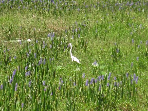 Egret On The Lake Poster