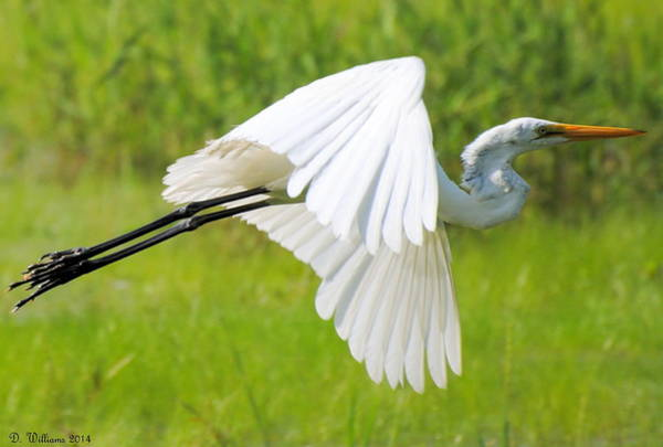 Egret Takes Flight Poster