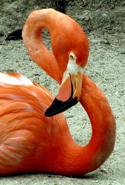 Figure Eight Flamingo Poster