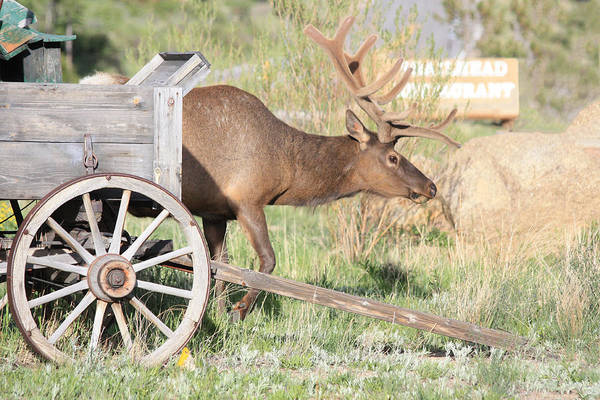 Poster featuring the photograph Elk Drawn Carriage by Shane Bechler
