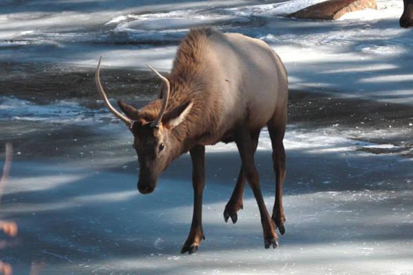Elk On Ice Poster