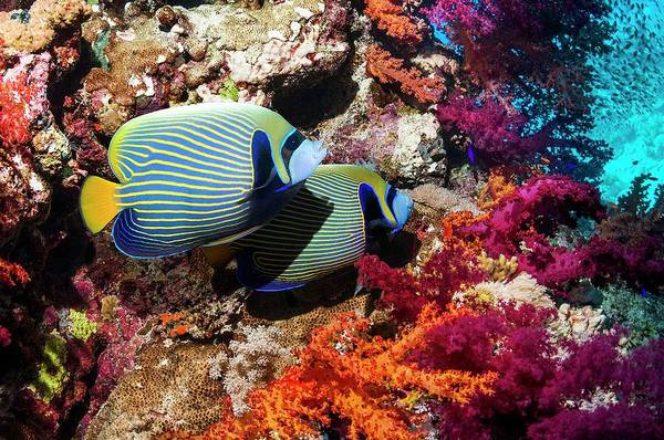 Emperor Angelfish On A Reef Poster