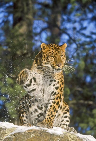 Endantered Leopard Poster