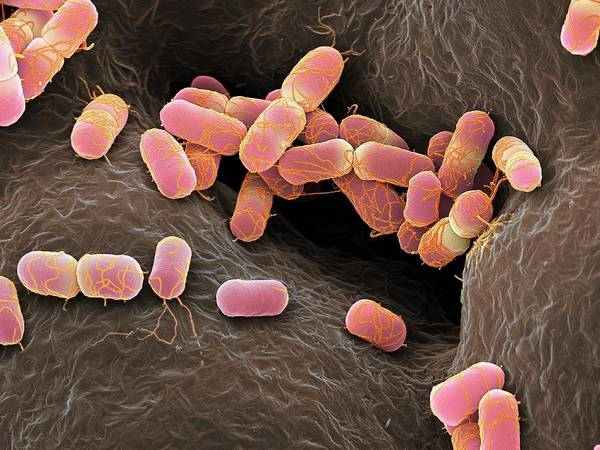 Escherichia Coli Bacteria Poster
