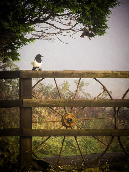 Eurasian Magpie In Morning Mist Poster