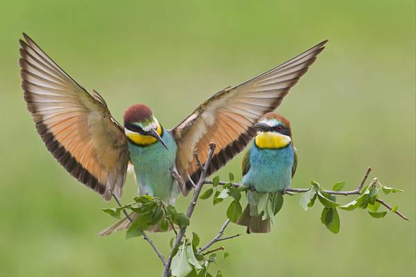 European Bee-eaters Bulgaria Poster