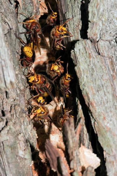 European Hornets Guarding Nest Poster