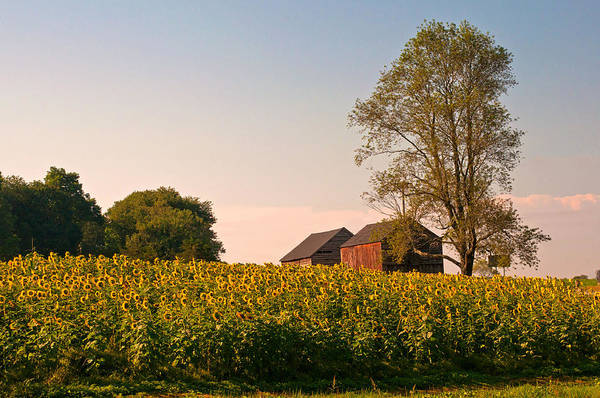 Evening On The Sunflower Farm Poster