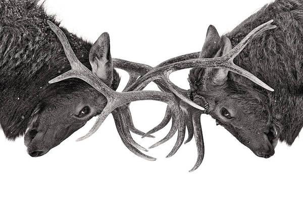Eye To Eye - Elk Fight Poster
