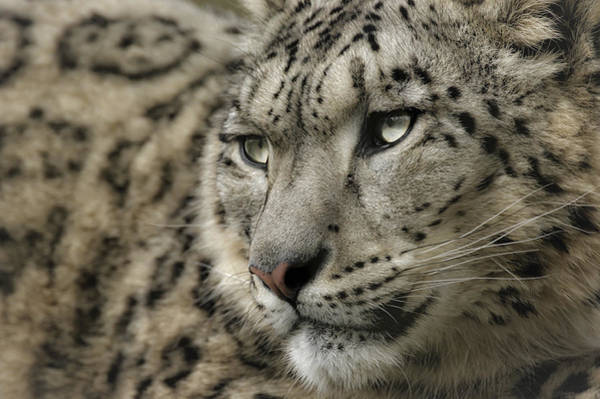 Eyes Of A Snow Leopard Poster