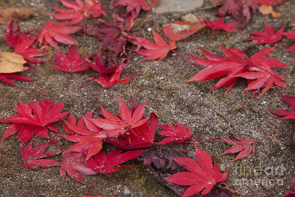 Poster featuring the photograph Falling Leaves by Tad Kanazaki