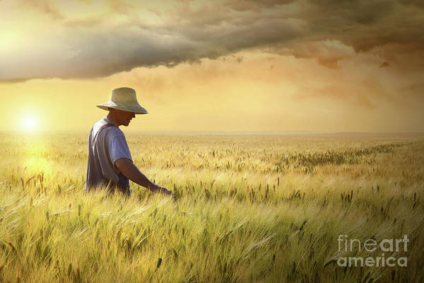 Farmer Checking His Crop Of Wheat  Poster