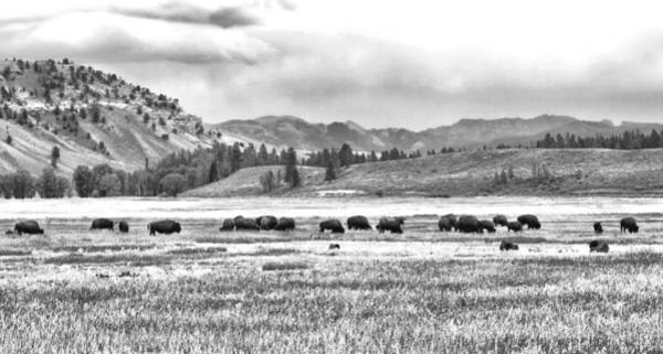 Feeding Bison And Scenic View  Poster
