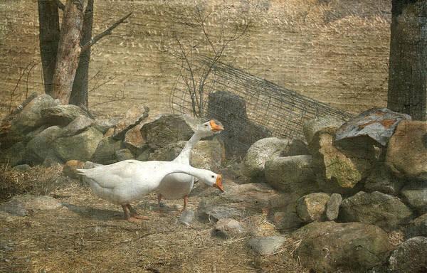 Feeding Geese   Poster