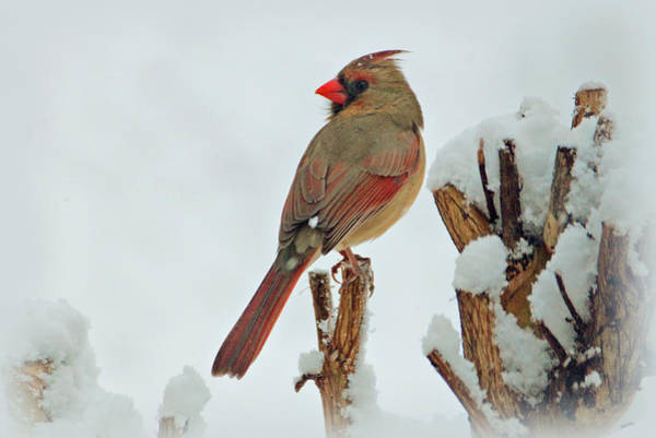 Female Cardinal In The Snow Poster
