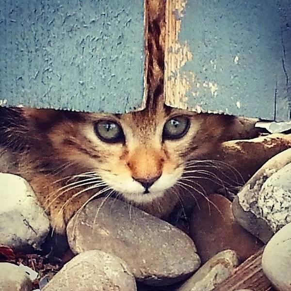 Peek A Boo Kitten Poster