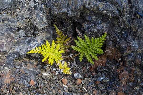 Ferns In Volcanic Rock Poster