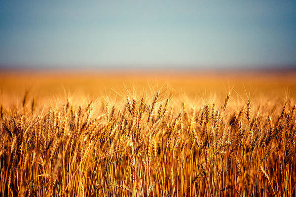 Field Of Wheat Poster