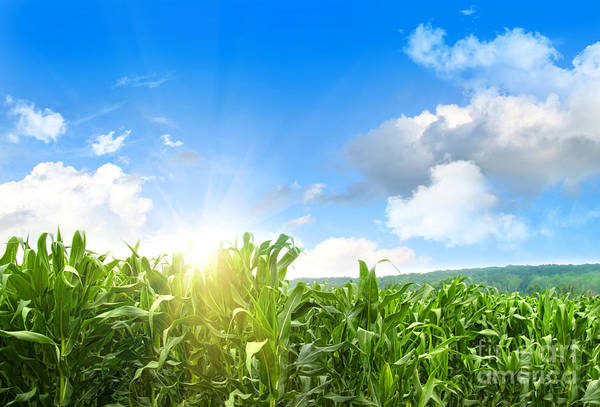 Field Of Young Corn Growing Against Blue Sky Poster