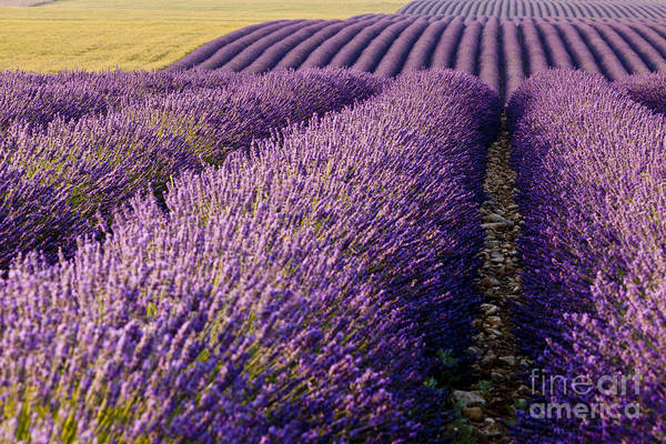 Poster featuring the photograph Fields Of Lavender by Brian Jannsen