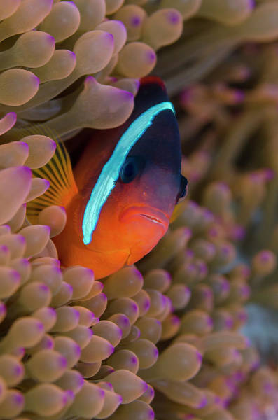 Fiji Clownfish Hiding Among Sea Anemones Poster