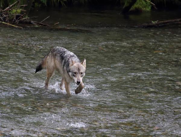 Fish Creek Wolf Poster