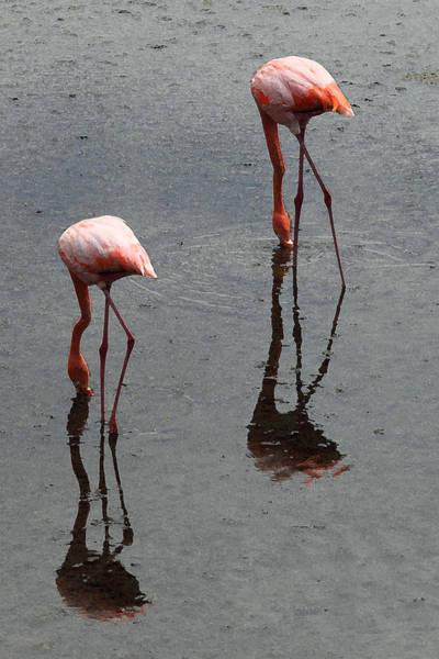 Flamingo Ballet Poster