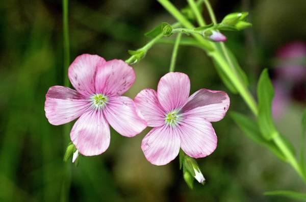 Flax (linum Viscosum) Flowers Poster