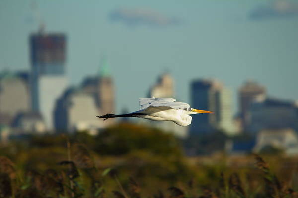 Flight Of The Great Egret Poster